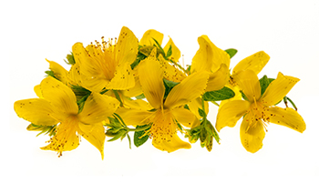 Focus on St Johns Wort - a bright yellow star!